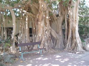 Iisrael. Vana puu.