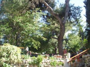 Puu Jeesuse haua juures Jeruusalemmas on kasvanud ristikujuliseks ...